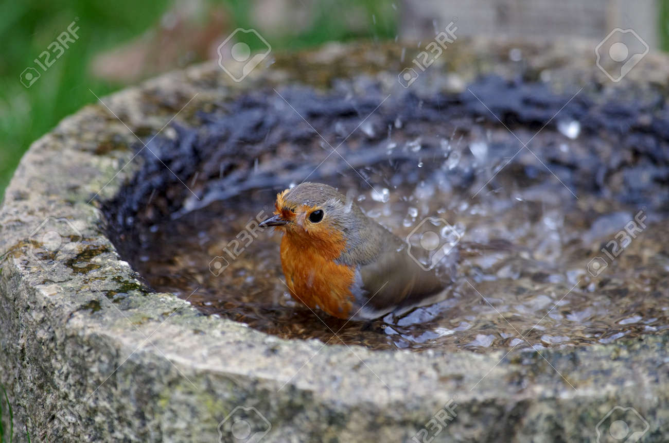 the bird bath for drinking and bathing, the robin lets the water splash - 165226470