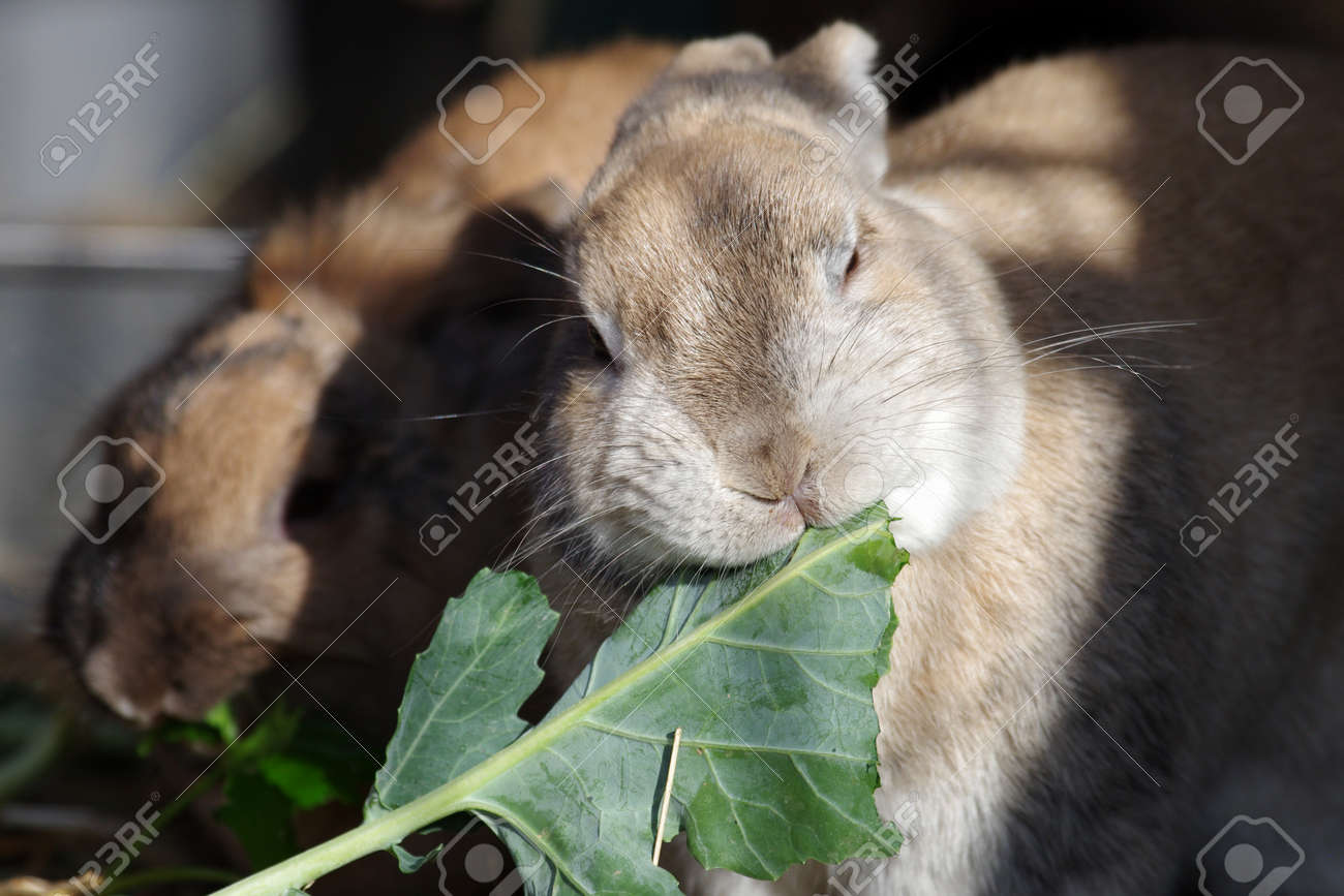 cute rabbit eats cabbage leaves - 165307557