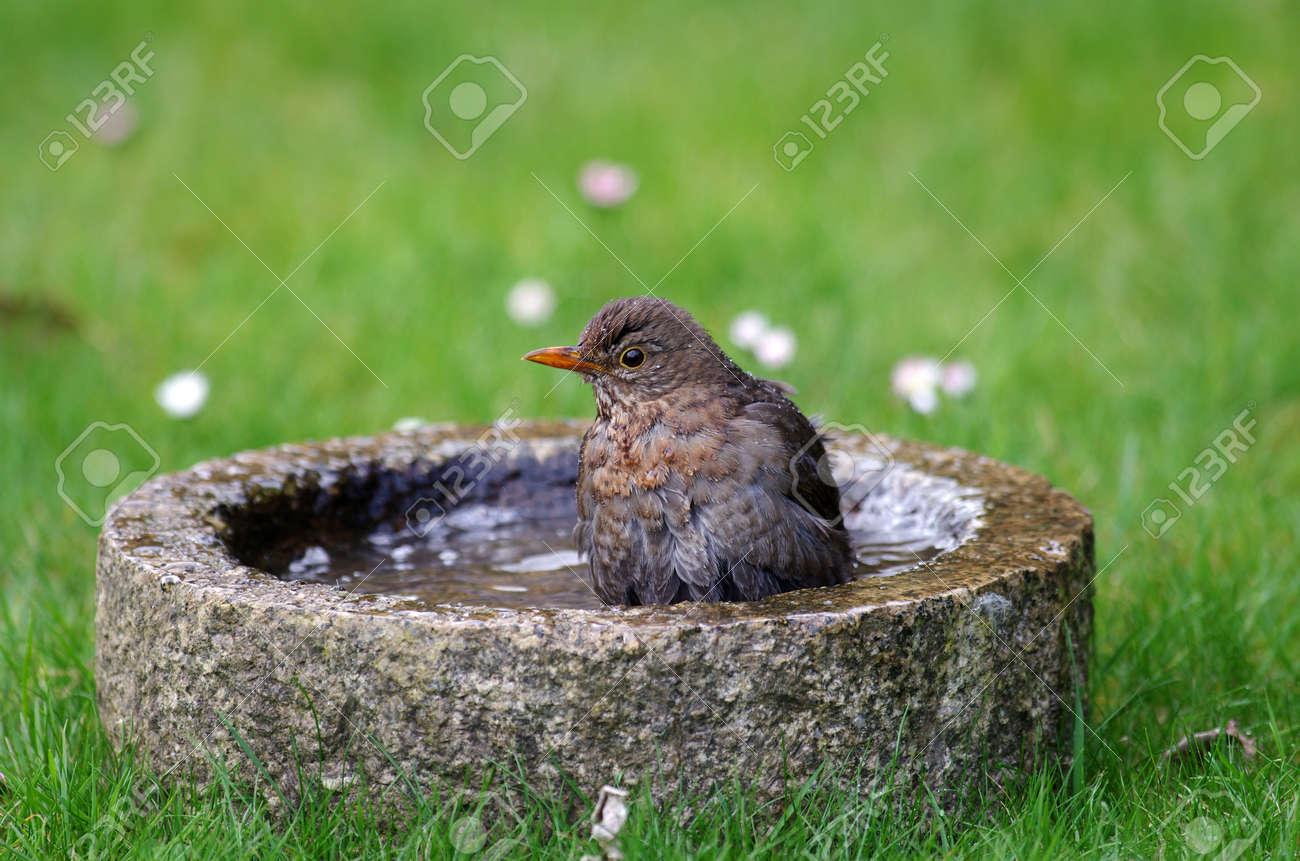 the blackbird takes a bath in a bird bath - 166960675