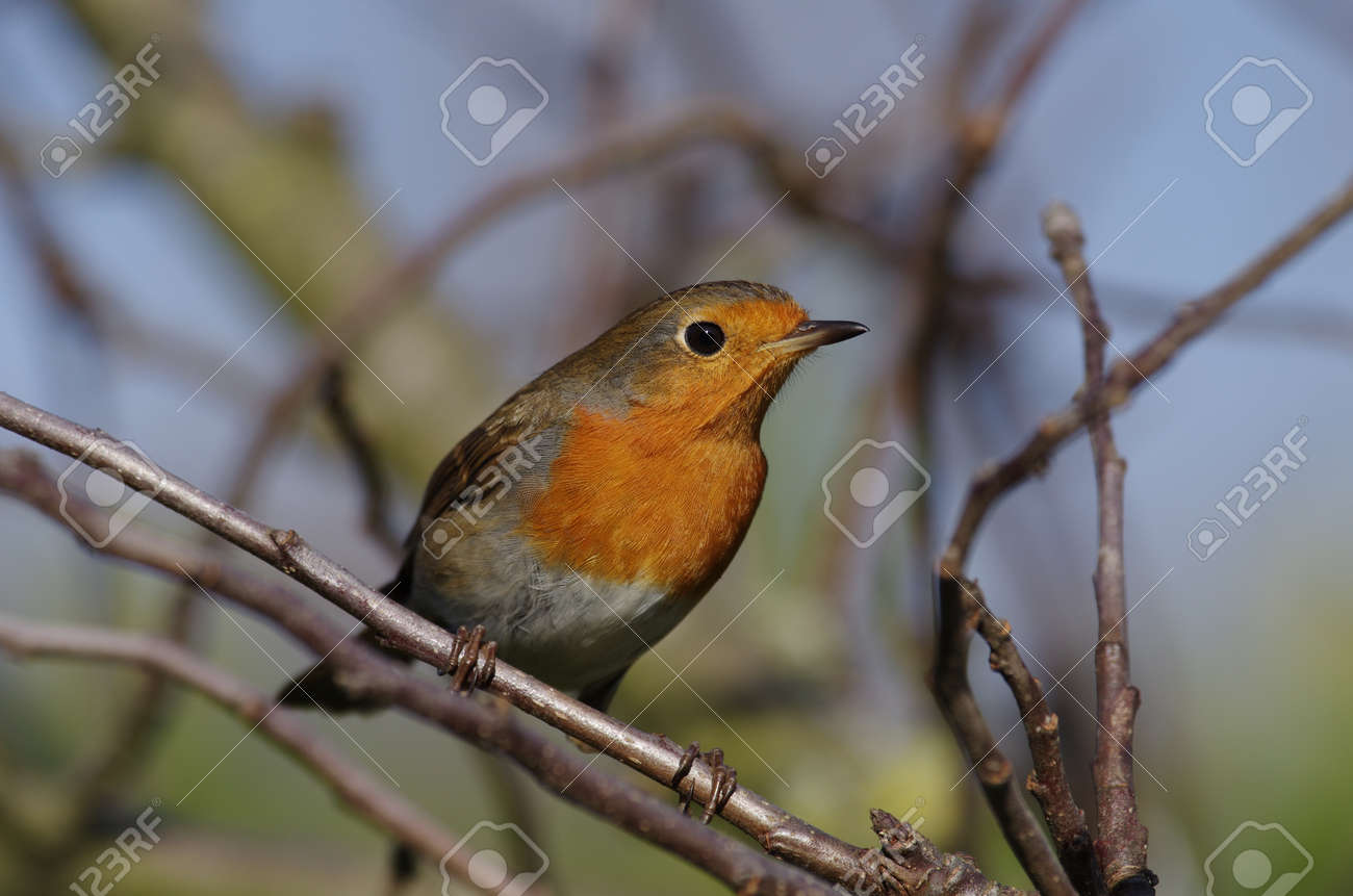 the robin, a close-up of the colorful songbird - 167326920