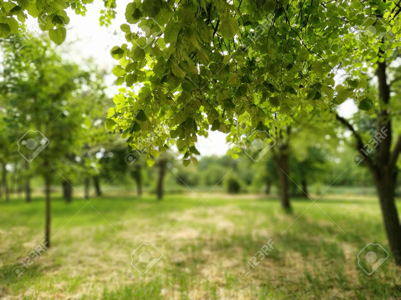 Beautiful deciduous forest. Fragrant linden flowers. Photograph taken from under a large branch of linden. Bright green foliage. Blurred bokeh in the background - 155526994