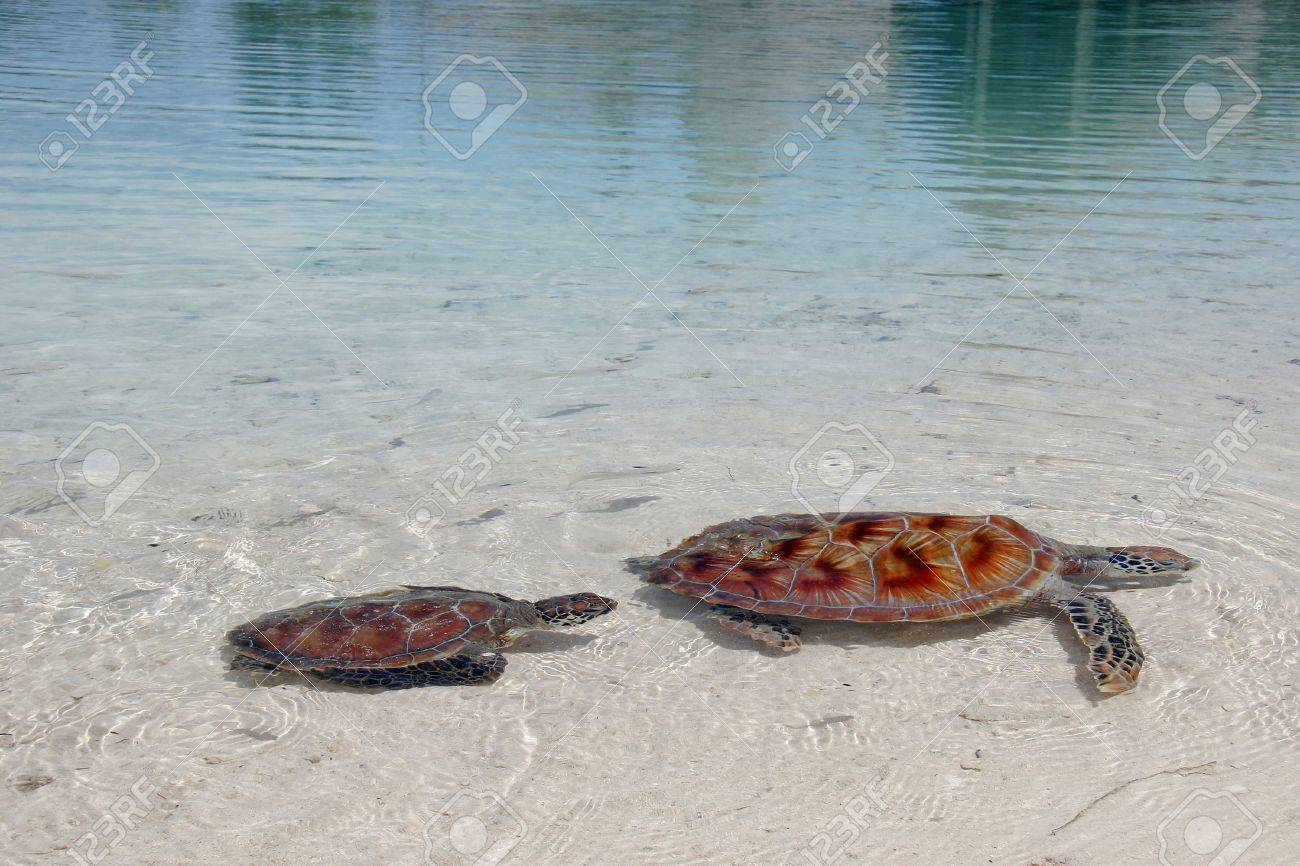A Pair Of Endangered Green Sea Turtles Leisurely Swim In The ...