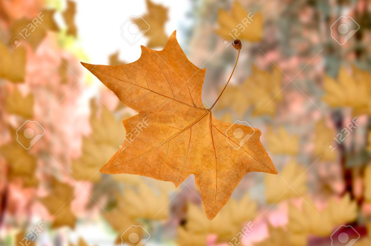 Close Up Of Dried Leaf With Falling Autumn Leaves At A City Park Stock Photo Picture And Royalty Free Image Image 64447925