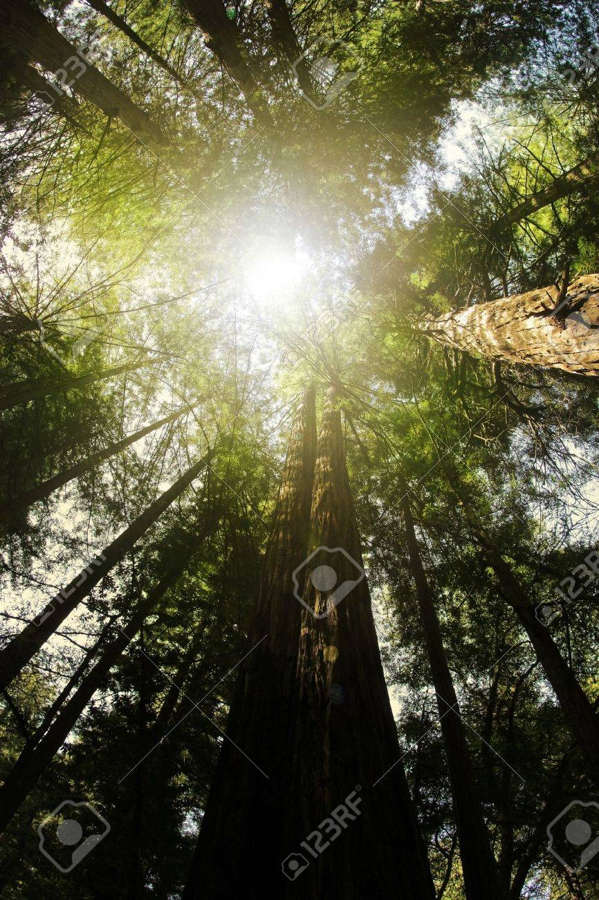 Perspecitve from below looking up into anceint redwood trees with light rays coming from above Stock Photo - 9233929