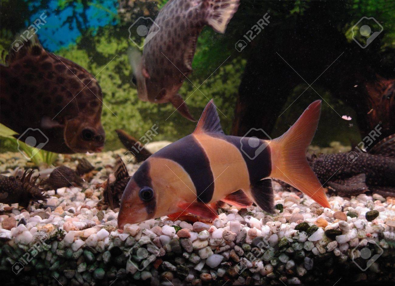 Botia clown (Botia macracantha) looking for food in aquarium Stock Photo - 6473107