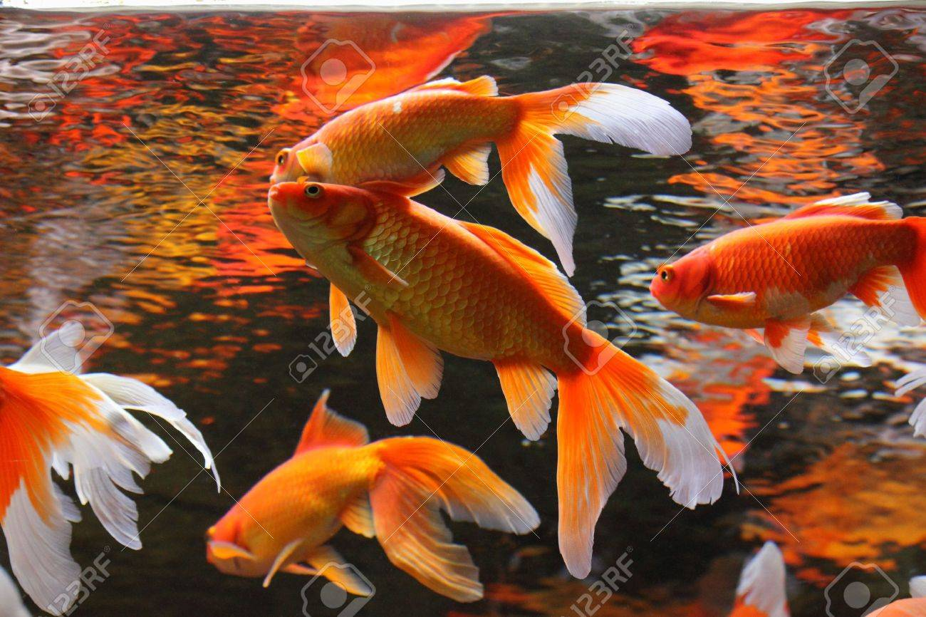Gold fish in aquarium popular pet and feng shui symbol of wealth popular pet and feng shui symbol of wealth and prosperity biocorpaavc Images
