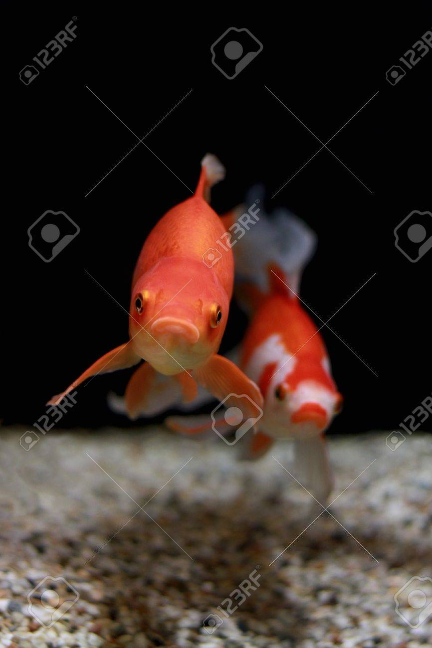 Gold Fish In Aquarium Popular Pet And Feng Shui Symbol Of Wealth