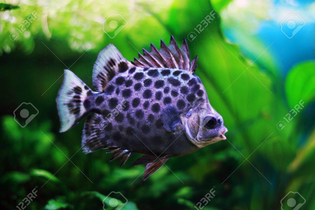 Argus Scatophagus in aquarium with raised dorsal fin Stock Photo - 17239675
