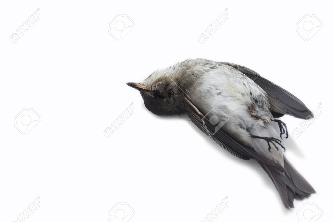 dead bird stock photos royalty free dead bird images and pictures