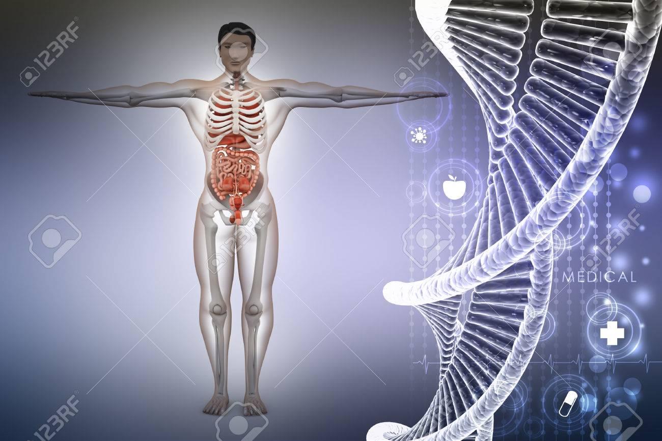 Anatomía Humana Con ADN Fotos, Retratos, Imágenes Y Fotografía De ...