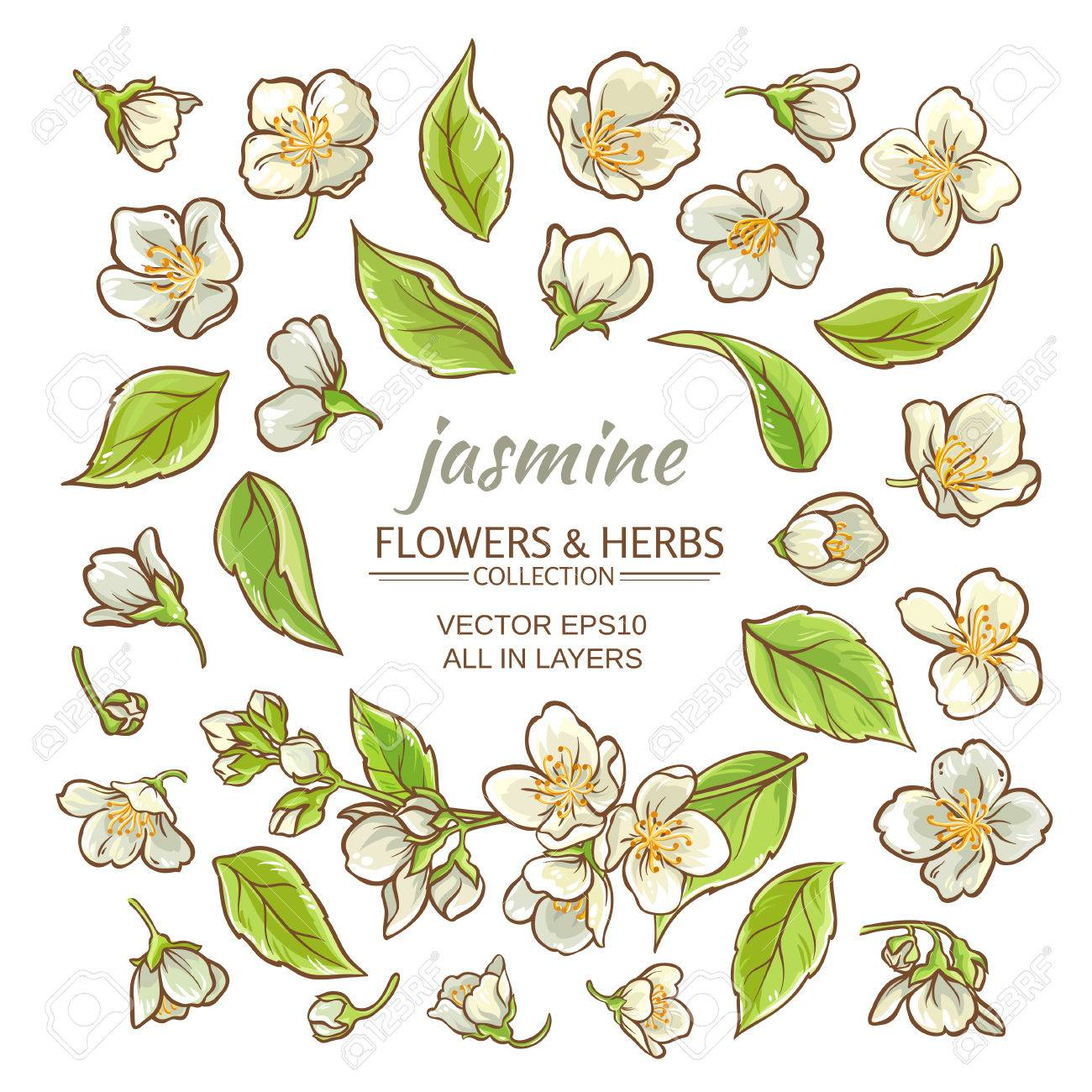 Jasmine Flowers Vector Set On White Background Royalty Free Cliparts