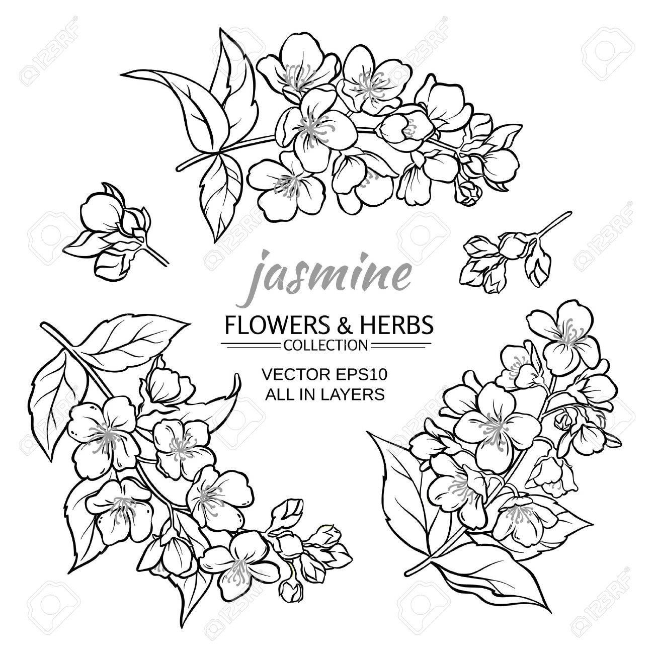 jasmine flowers set on white background - 62463857