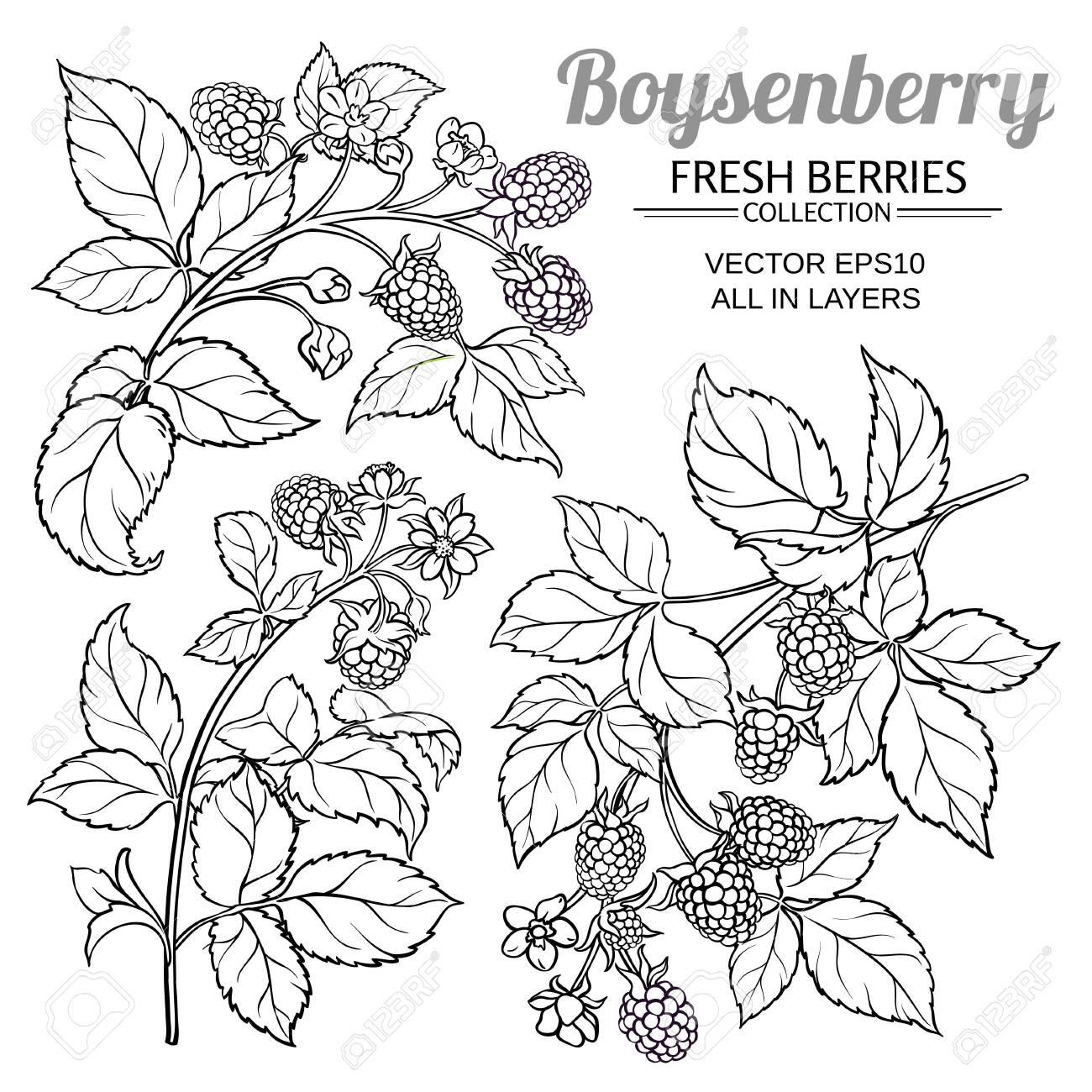 boysenberry vector set - 131681410