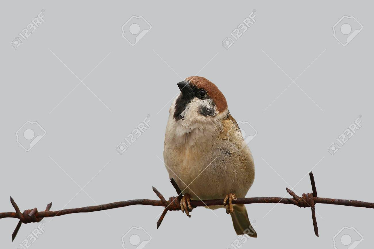 Bird Sparrow Sitting On A Metal Wire On An Isolated Background ...