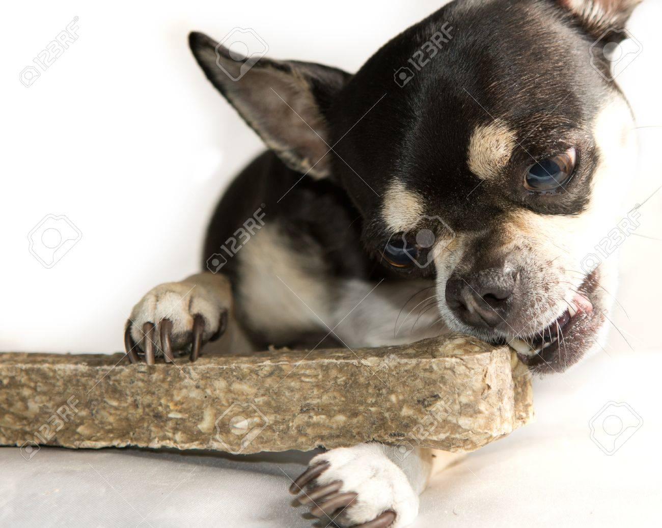 Tiny Chihuahua Dog Eating Large Bone Stock Photo - 13168124