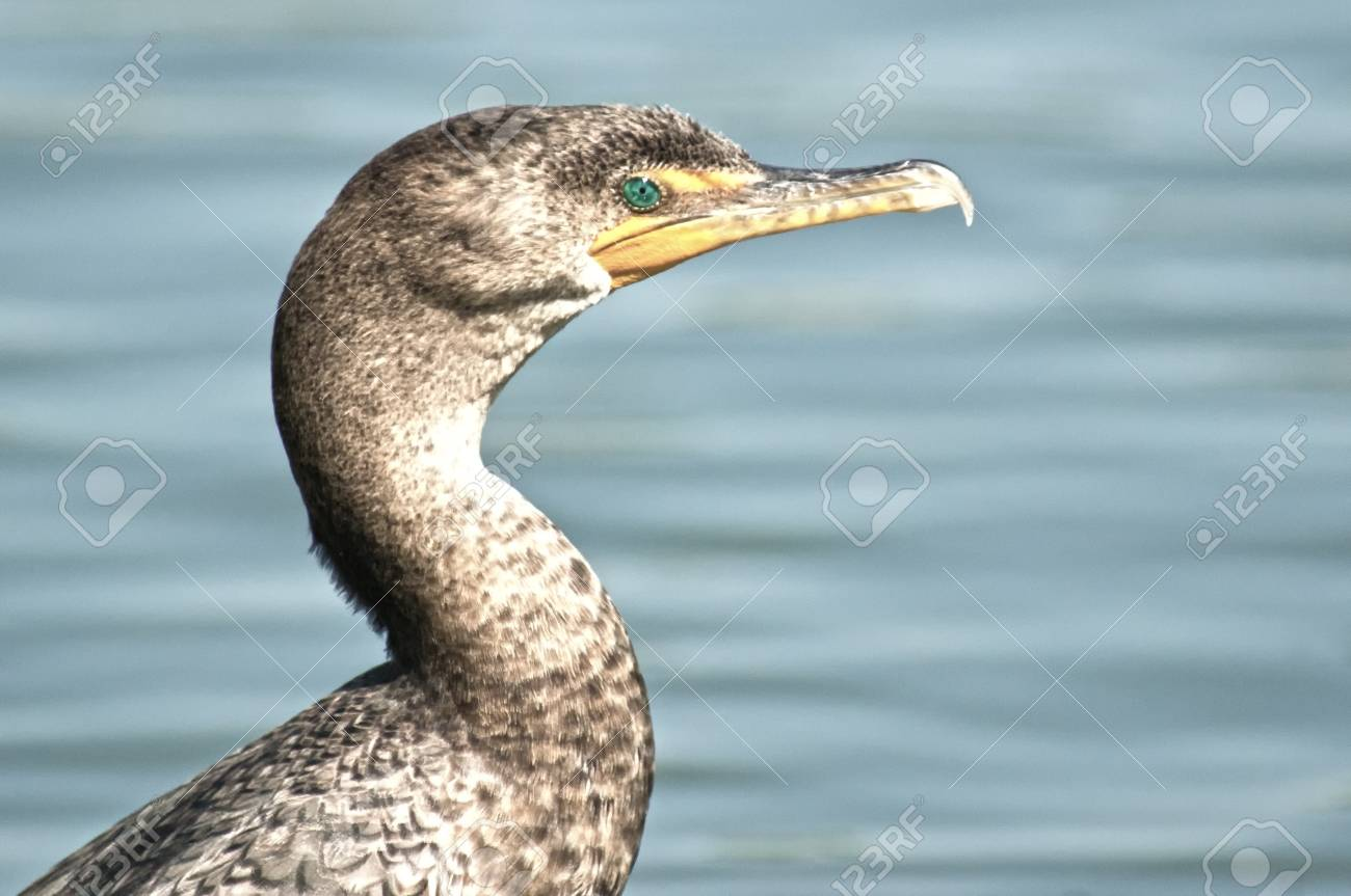 Phot of double crested cormorant taken at Goldenwest Park in Huntington Beach, California Stock Photo - 13207313