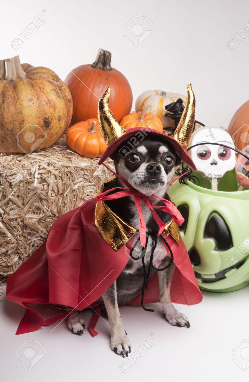 Cute chihuahua dressed in devil costume for halloween Stock Photo - 15846132 & Cute Chihuahua Dressed In Devil Costume For Halloween Stock Photo ...