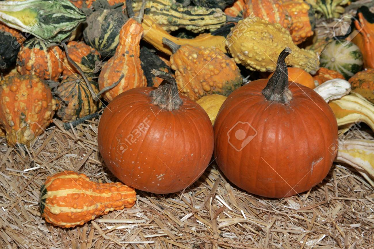 small pumpkins and ghourds stock photo picture and royalty free