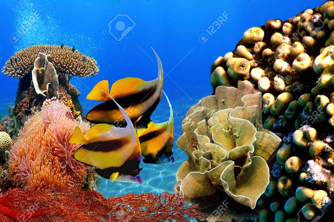 Photo of a coral colony and Pennant coralfish (bannerfish) Stock Photo - 8576295