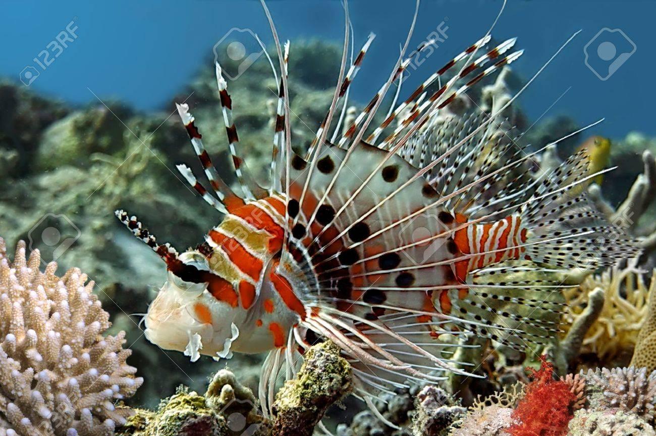 Spotfin lionfish (Pterois antennata). Stock Photo - 10302794
