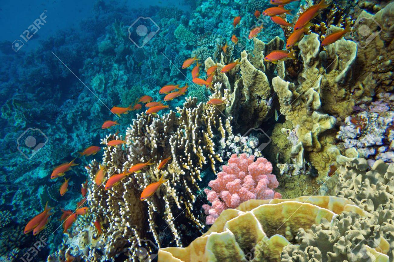 Tropical fish and Hard corals in the Red Sea, Egypt Stock Photo - 21926109