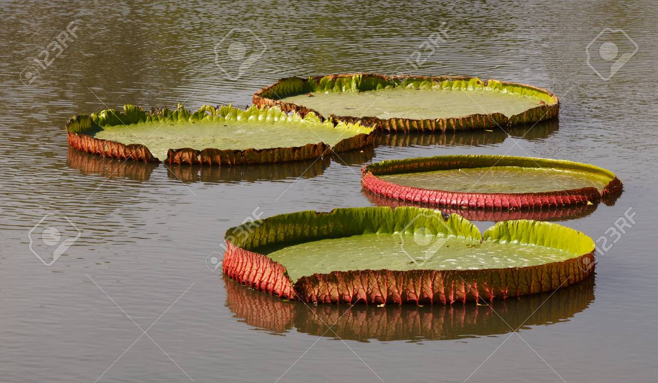 Lotus leaf characteristics and bloom will be larger stock photo lotus leaf characteristics and bloom will be larger stock photo 12719496 izmirmasajfo