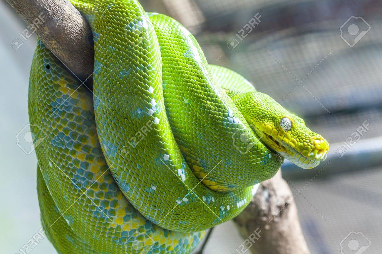 Resting wild green snake on a branch Stock Photo - 18130945