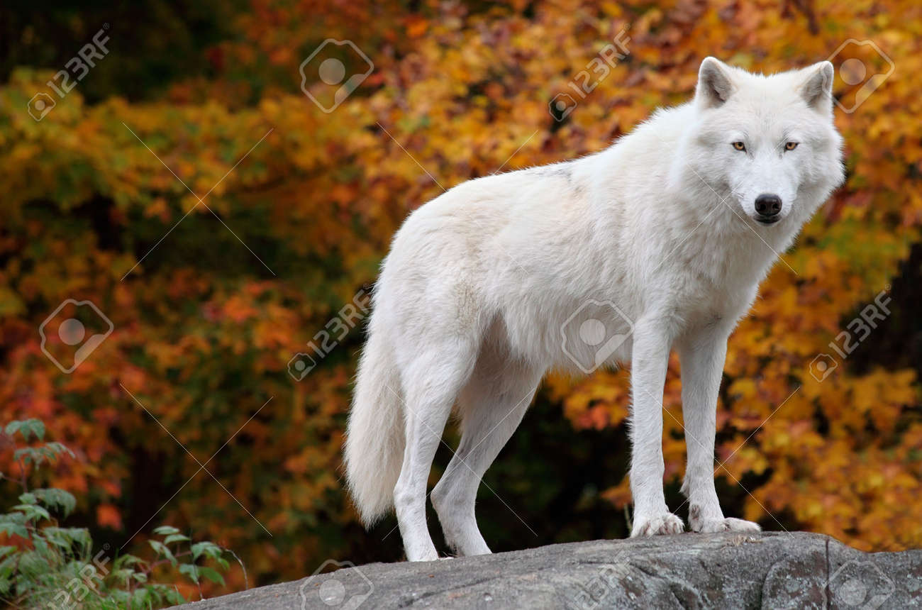 Arctic Wolf Looking at the Camera on a Fall Day - 5688424