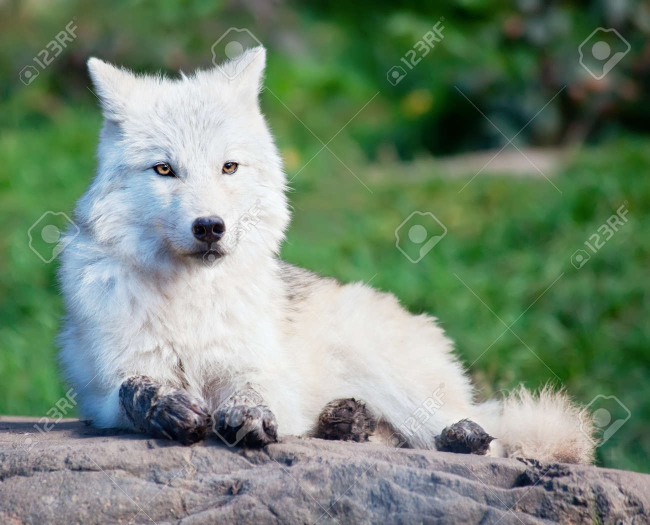 7984153-Young-Arctic-Wolf-Lying-Down-a-Rock-Stock-Photo.jpg