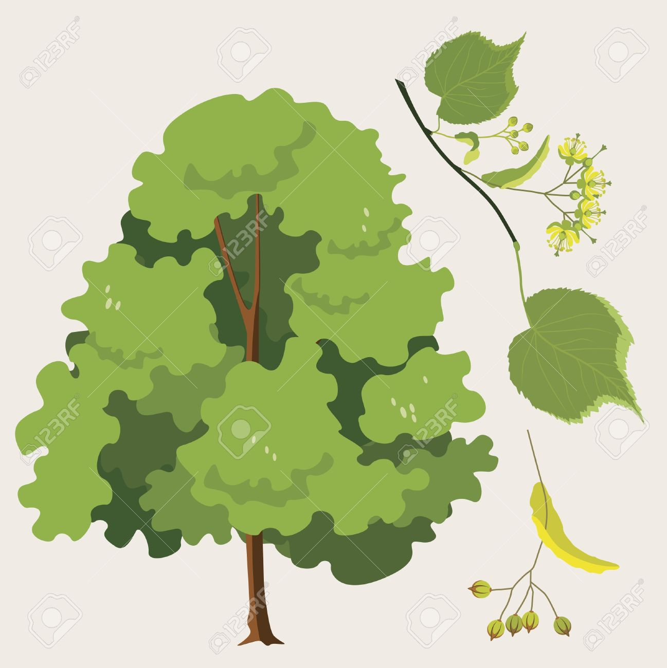 city  linden ordinary  with a leaf and seeds Stock Vector - 18568567
