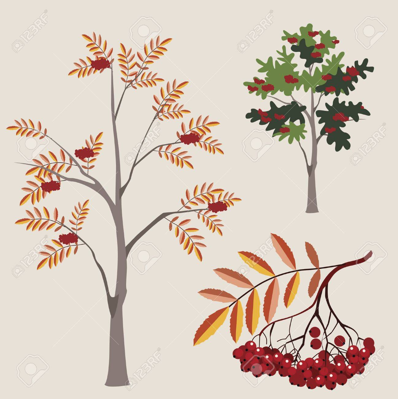 ordinary mountain ash in various options with a leaf and berries Stock Vector - 18568812