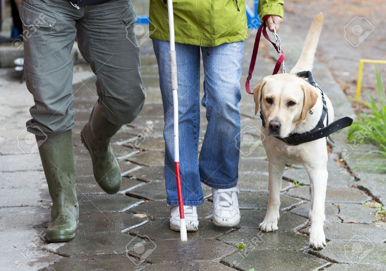 A blind person is led by her golden retriever guide dog during