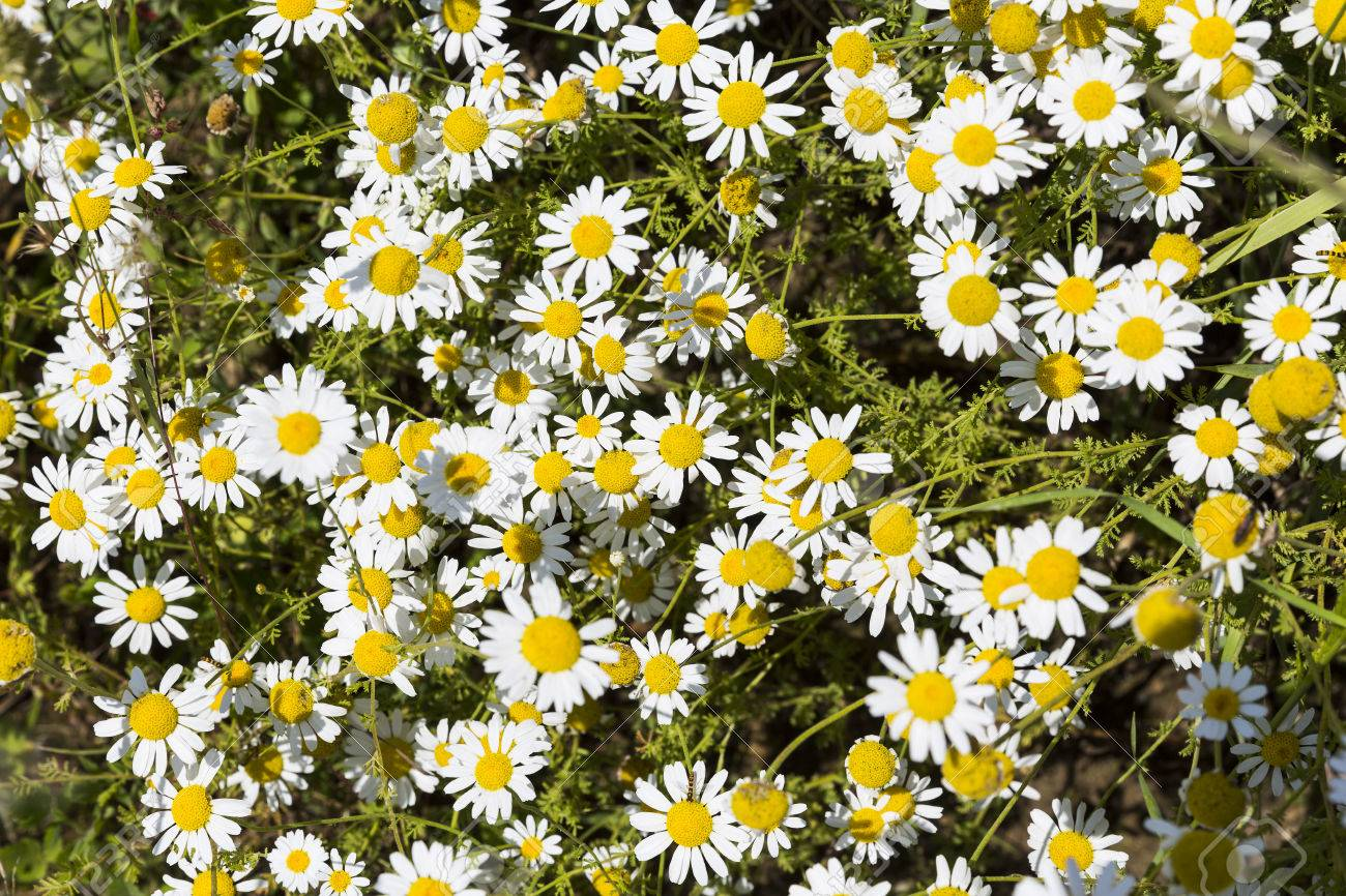 Camomile herb in its nature uncut form chamomile or camomile camomile herb in its nature uncut form chamomile or camomile is the common name for izmirmasajfo