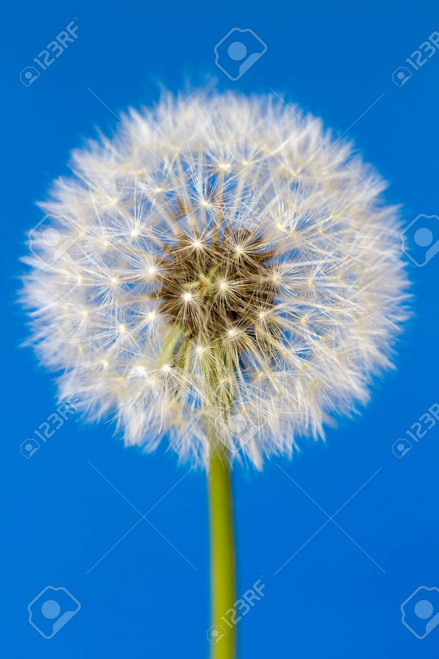 One white dandelion flower isolated on blue background stock photo one white dandelion flower isolated on blue background stock photo 80052588 mightylinksfo