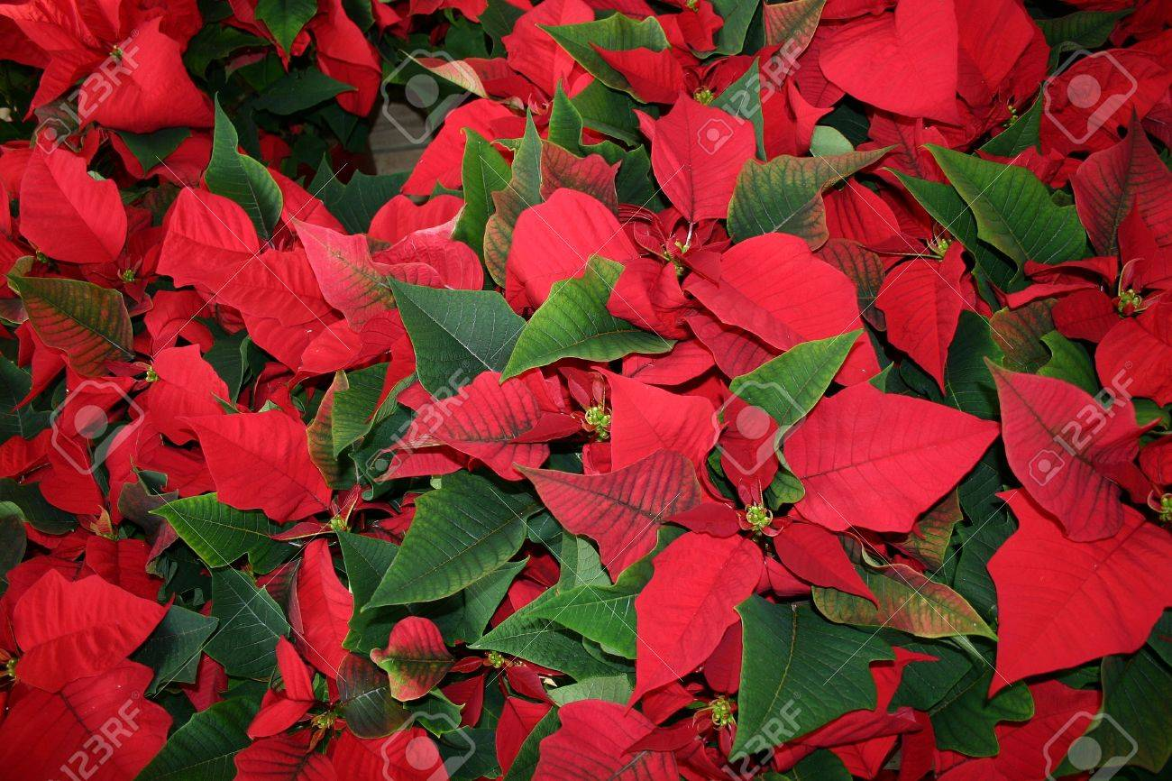 poinsettia, fleur de noel stock photo, picture and royalty free