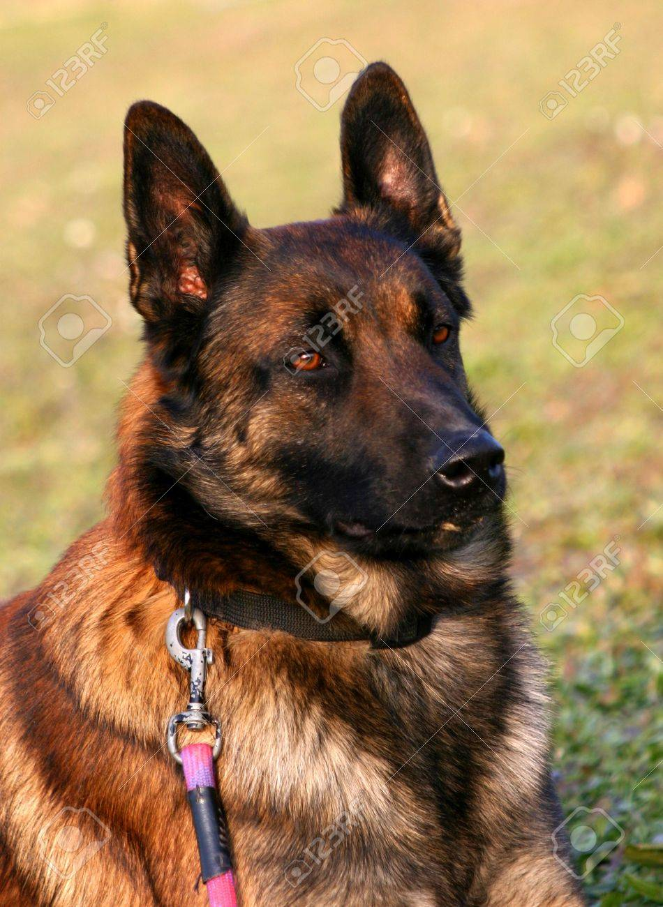 attentive belgian shepherd Stock Photo - 686104