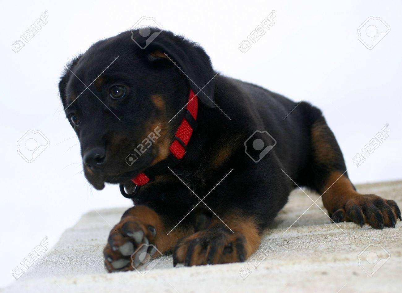 cute  beauceron Stock Photo - 719637