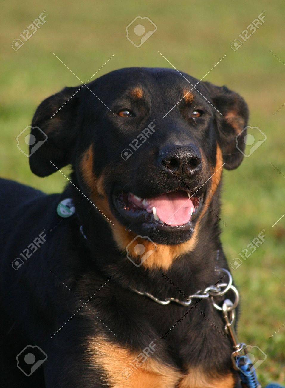 happy beauceron Stock Photo - 719951