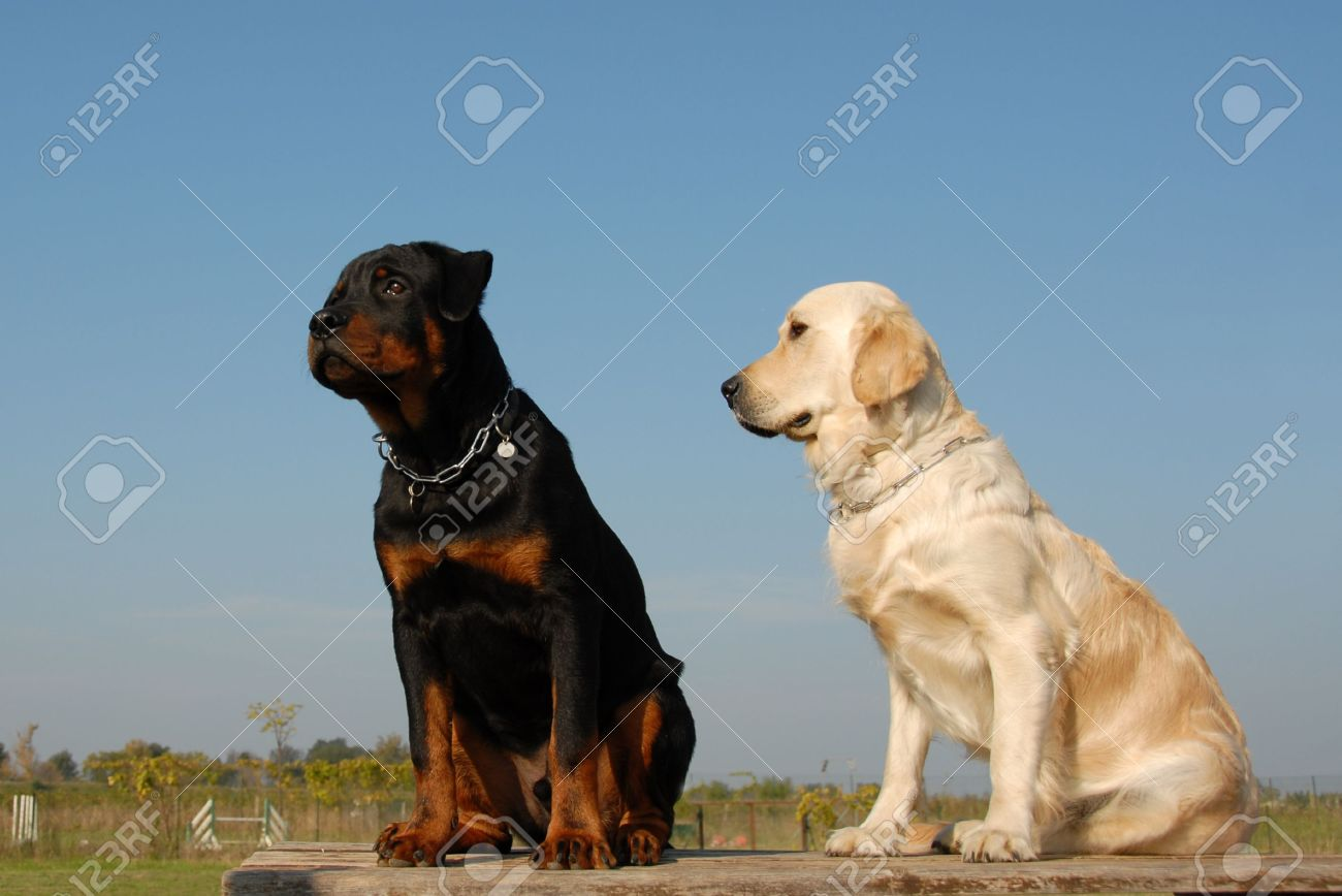Two Puppies Purebred Golden Retriever And Purebred Rottweiler Stock