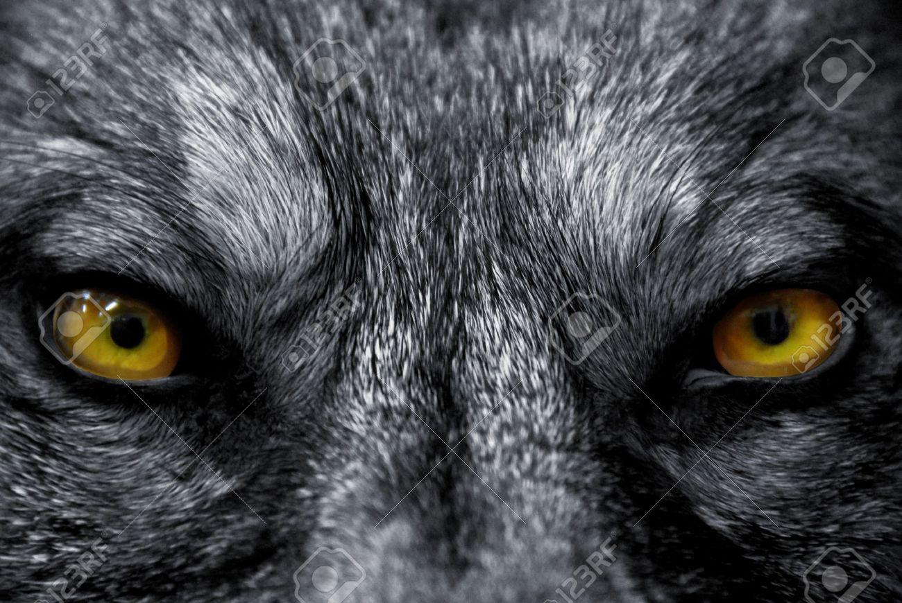 Hermosos Ojos De Un Lobo Salvaje Peligroso De Mamíferos Fotos