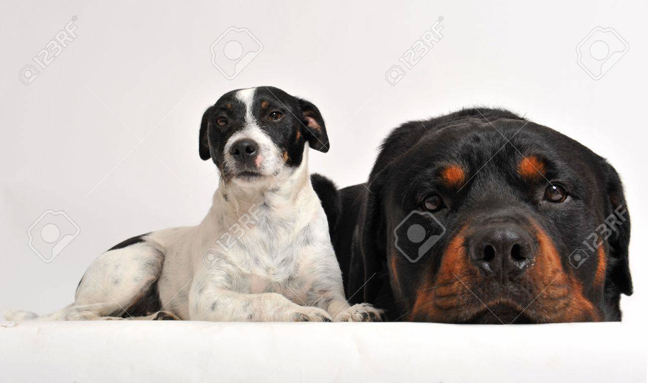 due amici cani: rottweiler e jack russel terrier foto royalty free