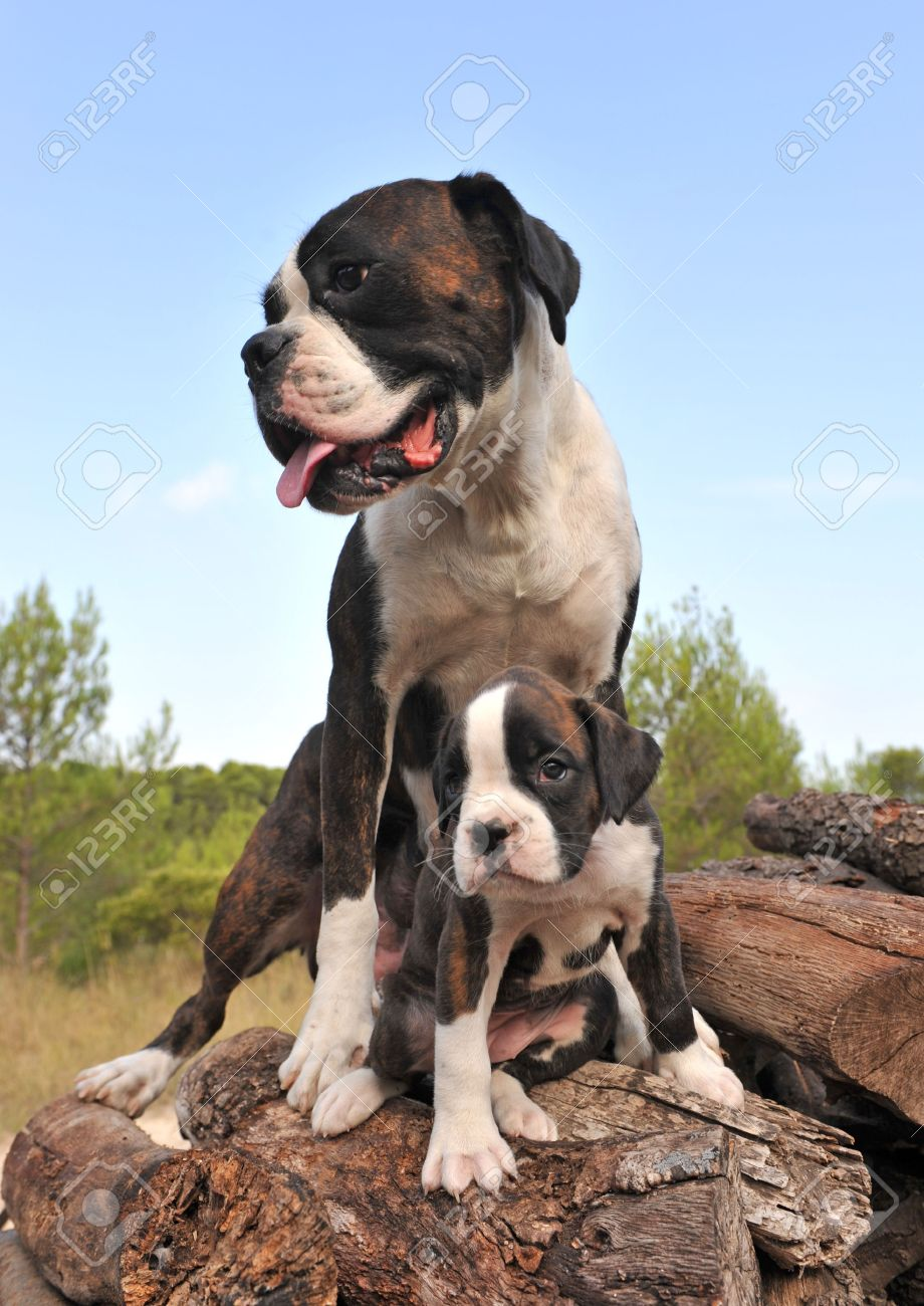 Mother And Her Puppy Purebred German Boxer Stock Photo Picture And Royalty Free Image Image 5575595