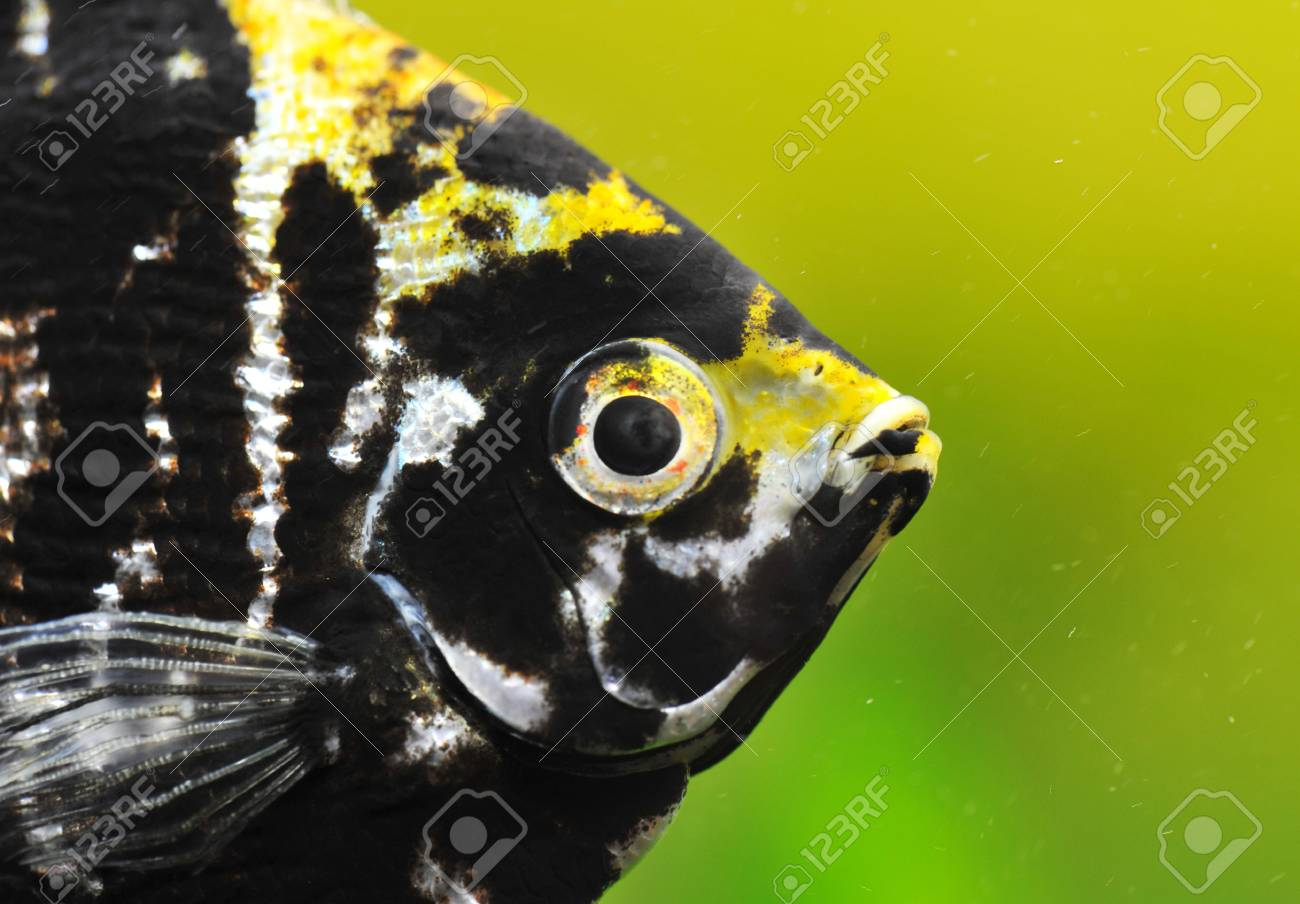 close up of a pterophyllum scalare in a tank Stock Photo - 6974842