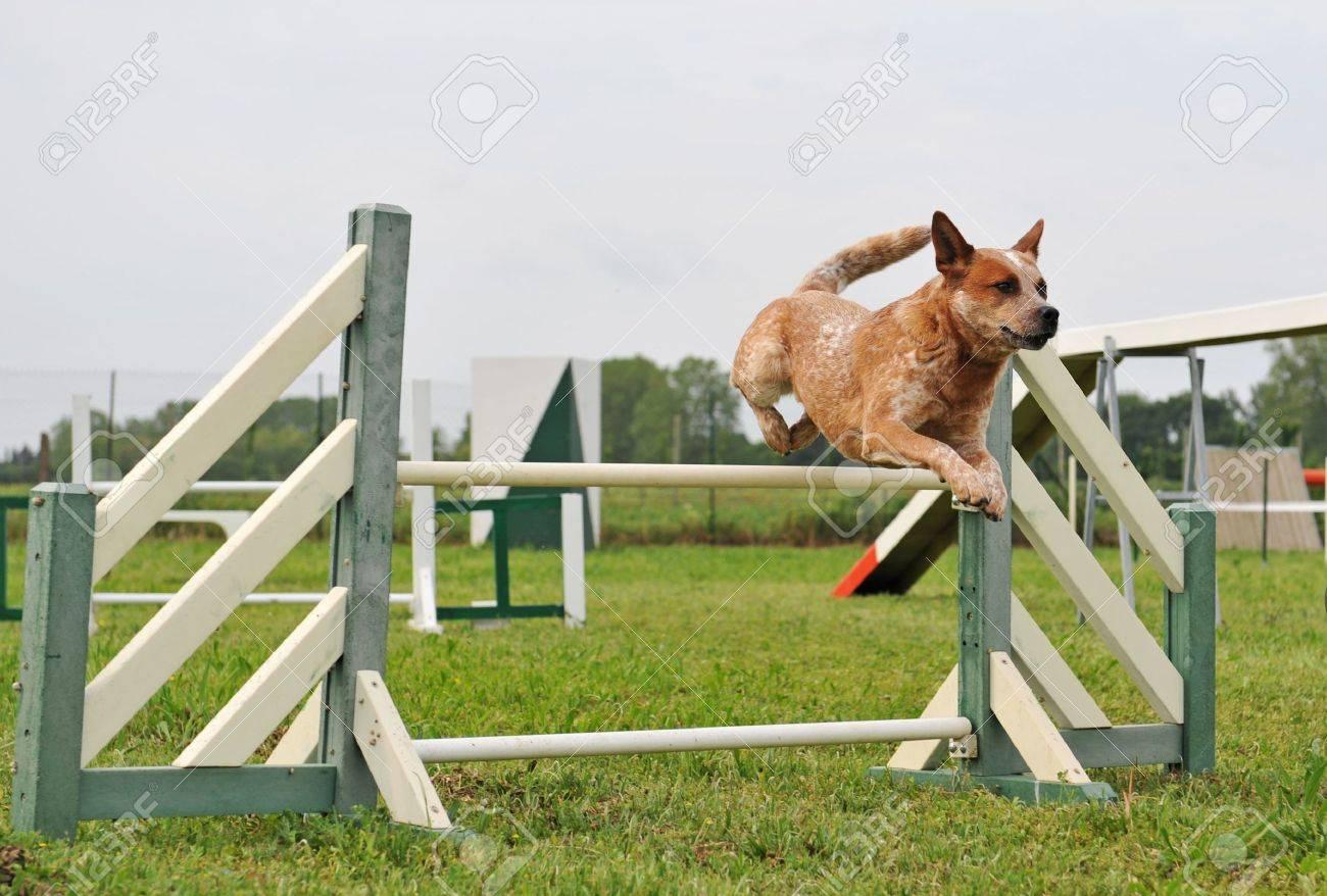 Dog Agility Stock Photos. Royalty Free Dog Agility Images