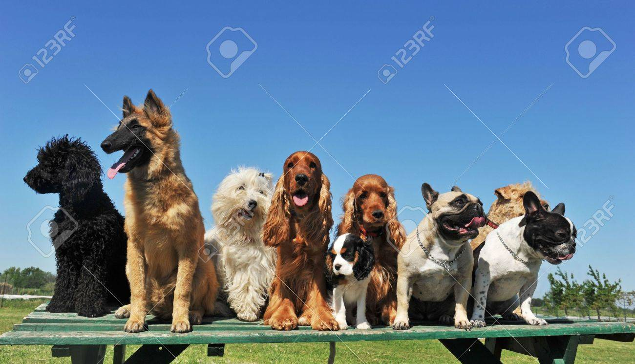 Group Of Puppies Purebred Dogs On A Table Stock Photo Picture And