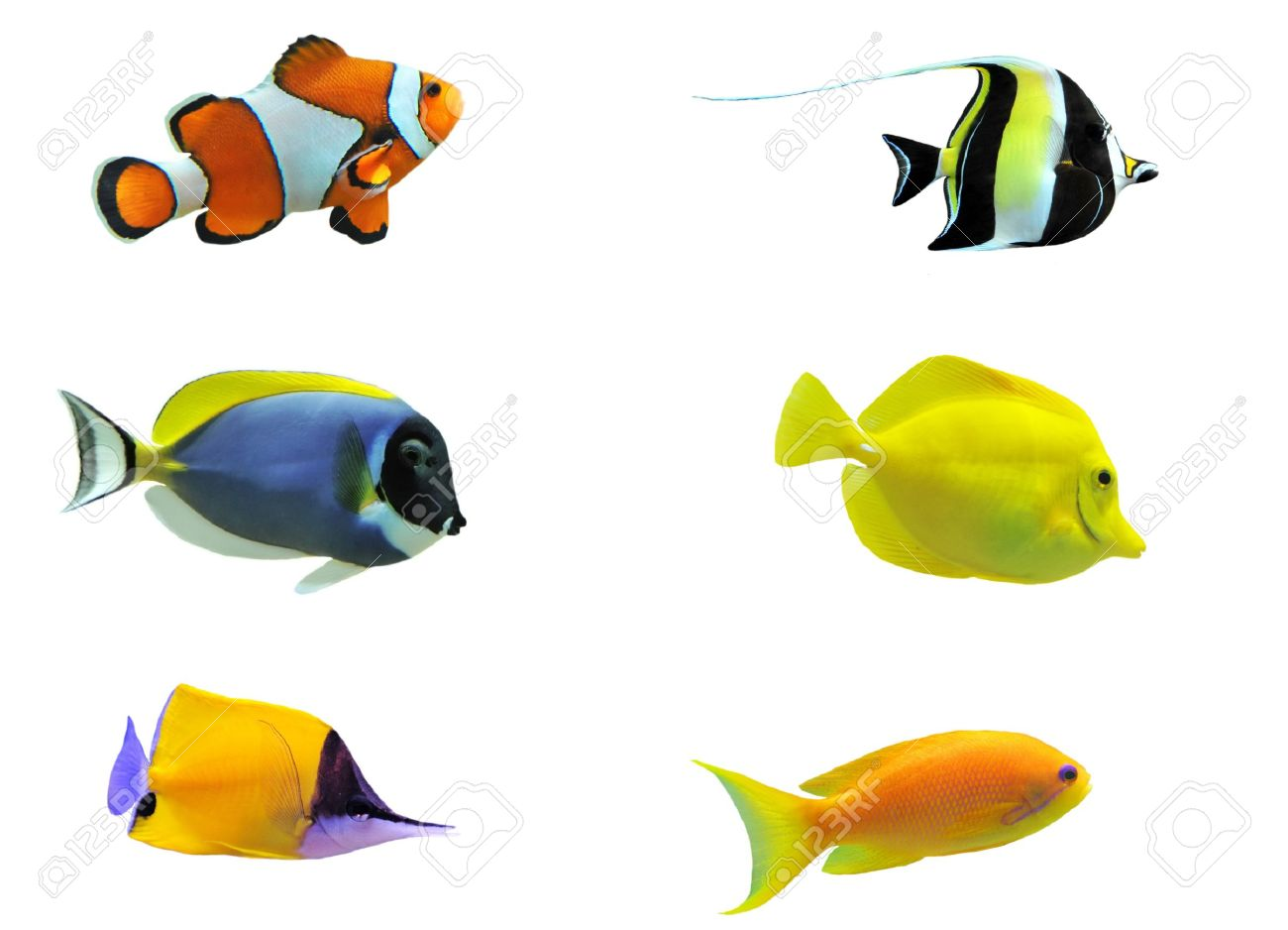 full side view of tropical fish isolated on white Stock Photo - 7307540