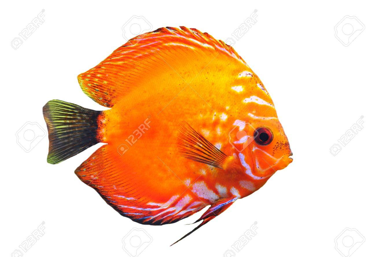 portrait of a red  tropical Symphysodon discus fish on a white background Stock Photo - 7307541