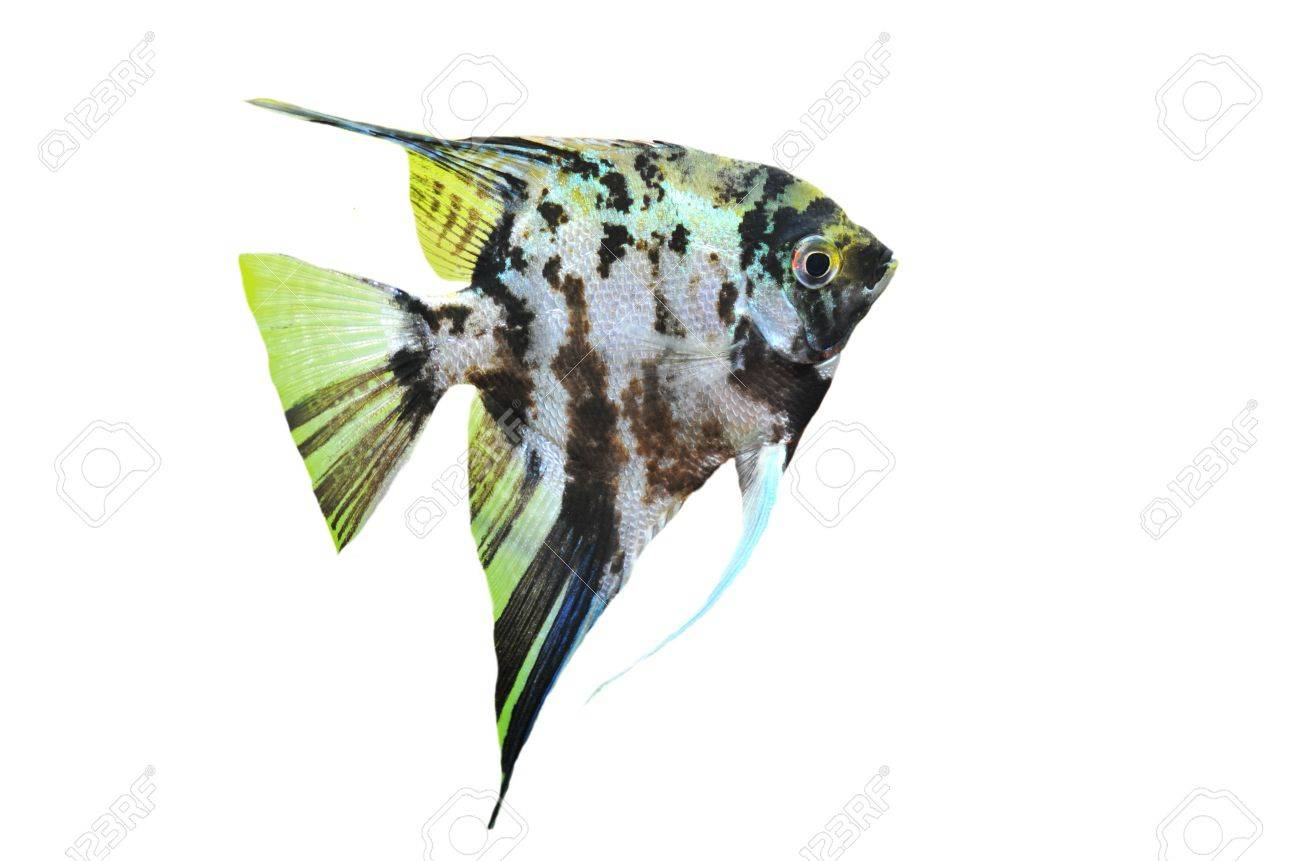 portrait of a pterophyllum scalare on a white background Stock Photo - 7307536