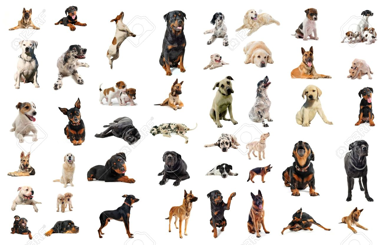 composite picture with purebred  dogs in a white background Stock Photo - 7806359