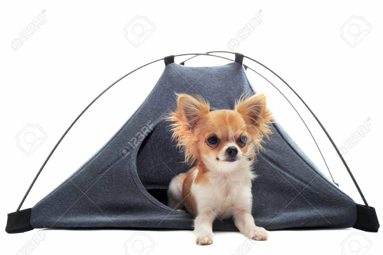 portrait of a cute purebred puppy chihuahua in a tent in front of white background - 10204295